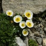Ranunculus_glacialis_(habitus).jpg